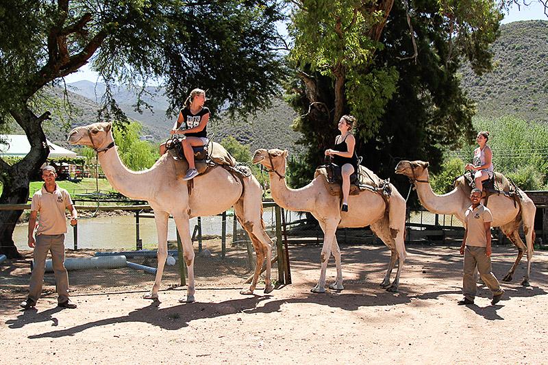 Camel Rides  at Wilgewandel Oudtshoorn